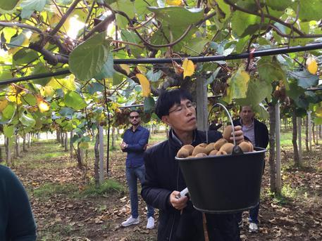 Agricoltura: ispettori coreani nei campi di kiwi del Metapontino