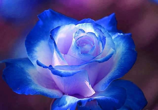 rosa-blu.jpg