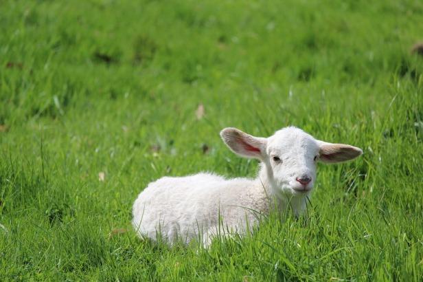 lamb-2855905_960_720