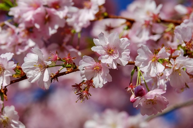 japanese-cherry-trees-3296399_960_720
