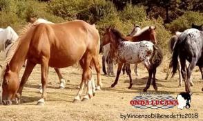 Cavalli allo stato brado, zona Cacciatizze, Volturino , Calvello