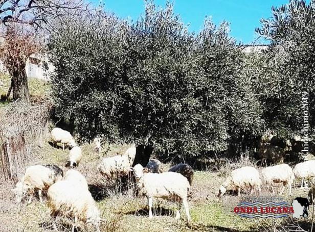 Immagine tratta da repertorio di Onda Lucana®by Pina Chidichimo 2019 Pecore al pascolo